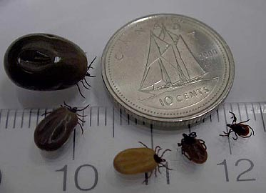 Figure 1 - Female blacklegged ticks in various stages of feeding